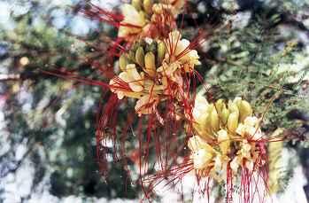 Laboratorio de plantas vasculares - Caesalpinia gilliesii cultivo ...